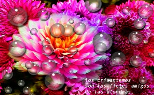 crisantemos,1809201w
